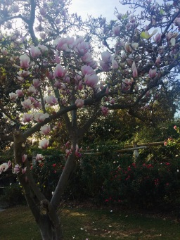 Beautiful magnolia tree